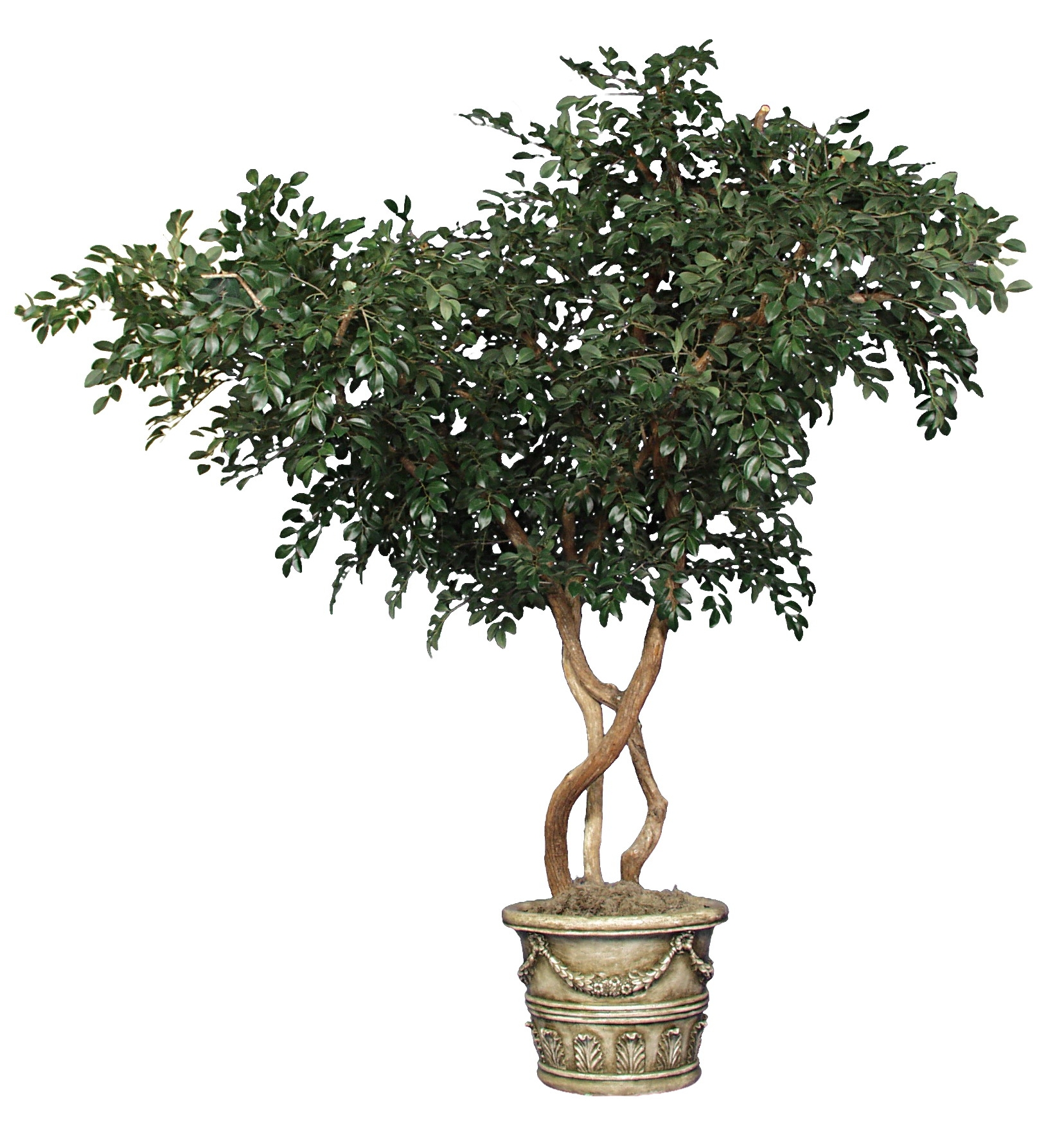 TCM 2272- Sacagi Ficus