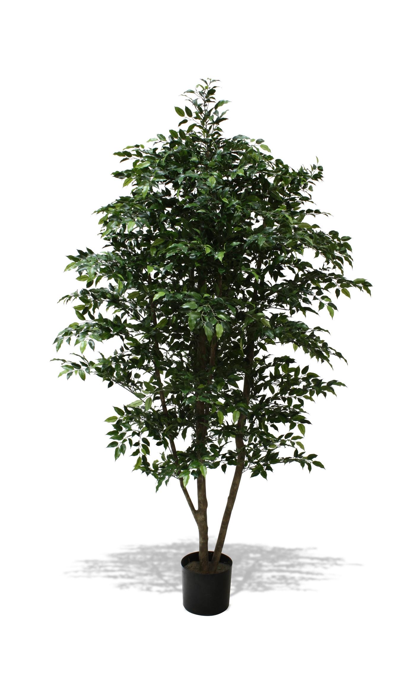 TSP 4444- Ficus