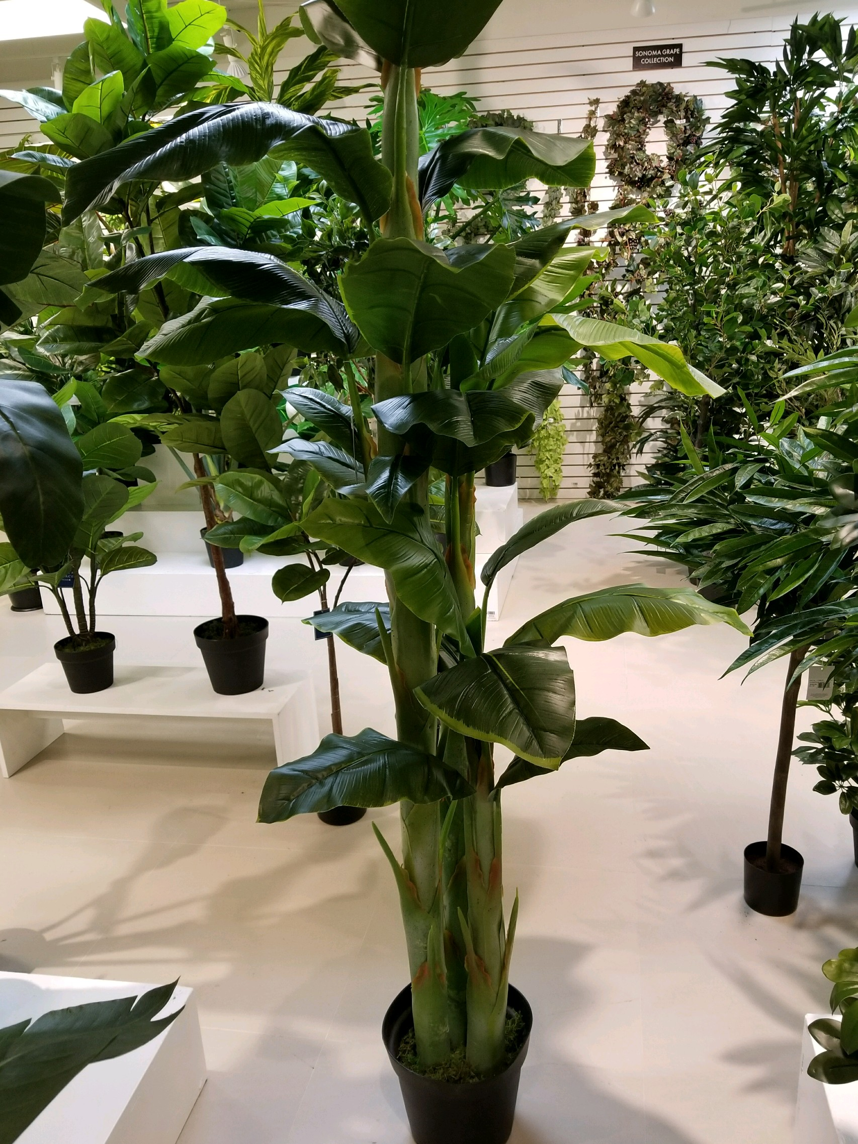 TPT 8904- Banana Palm