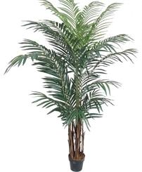 PL550 Areca Palm