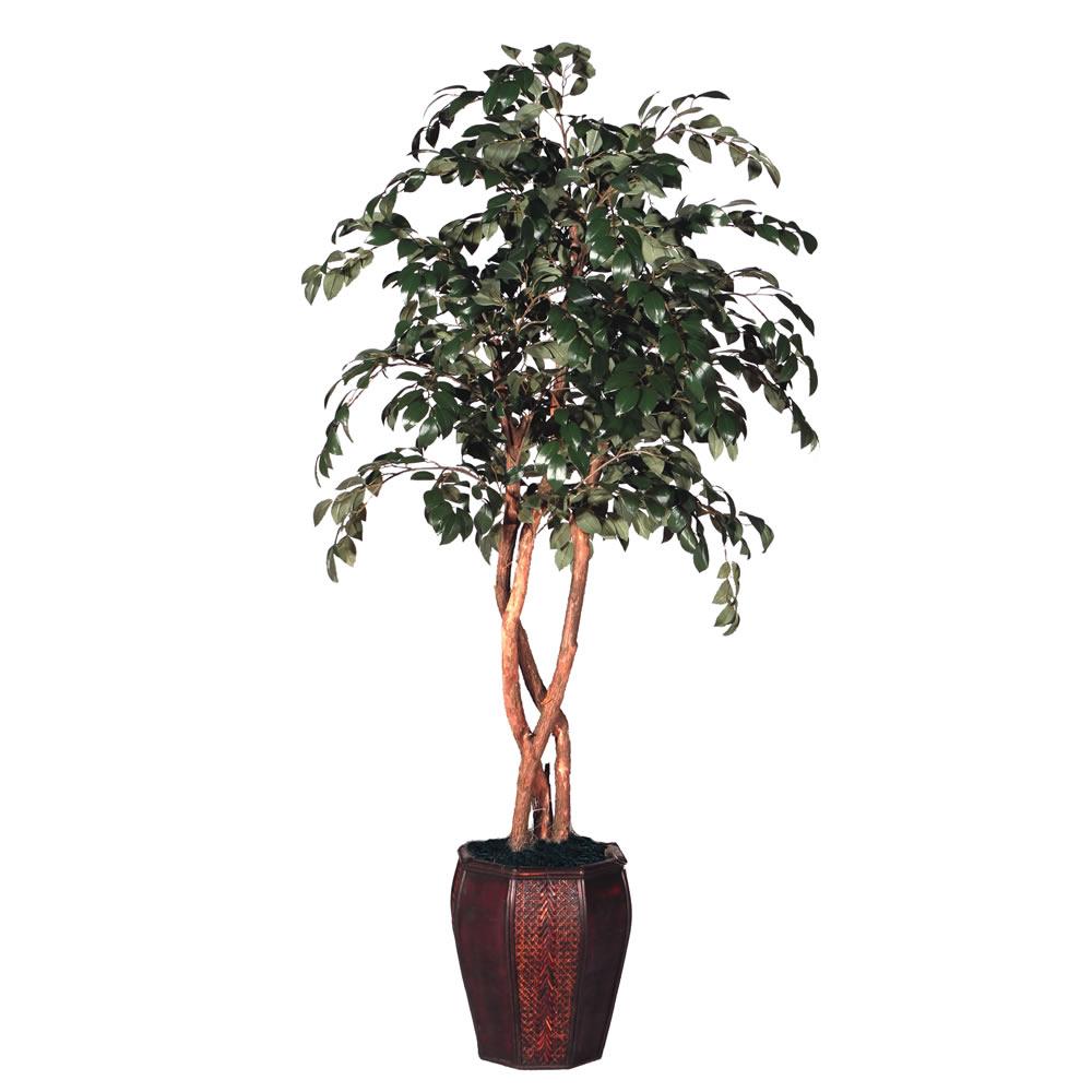 TSP 1345- Ficus
