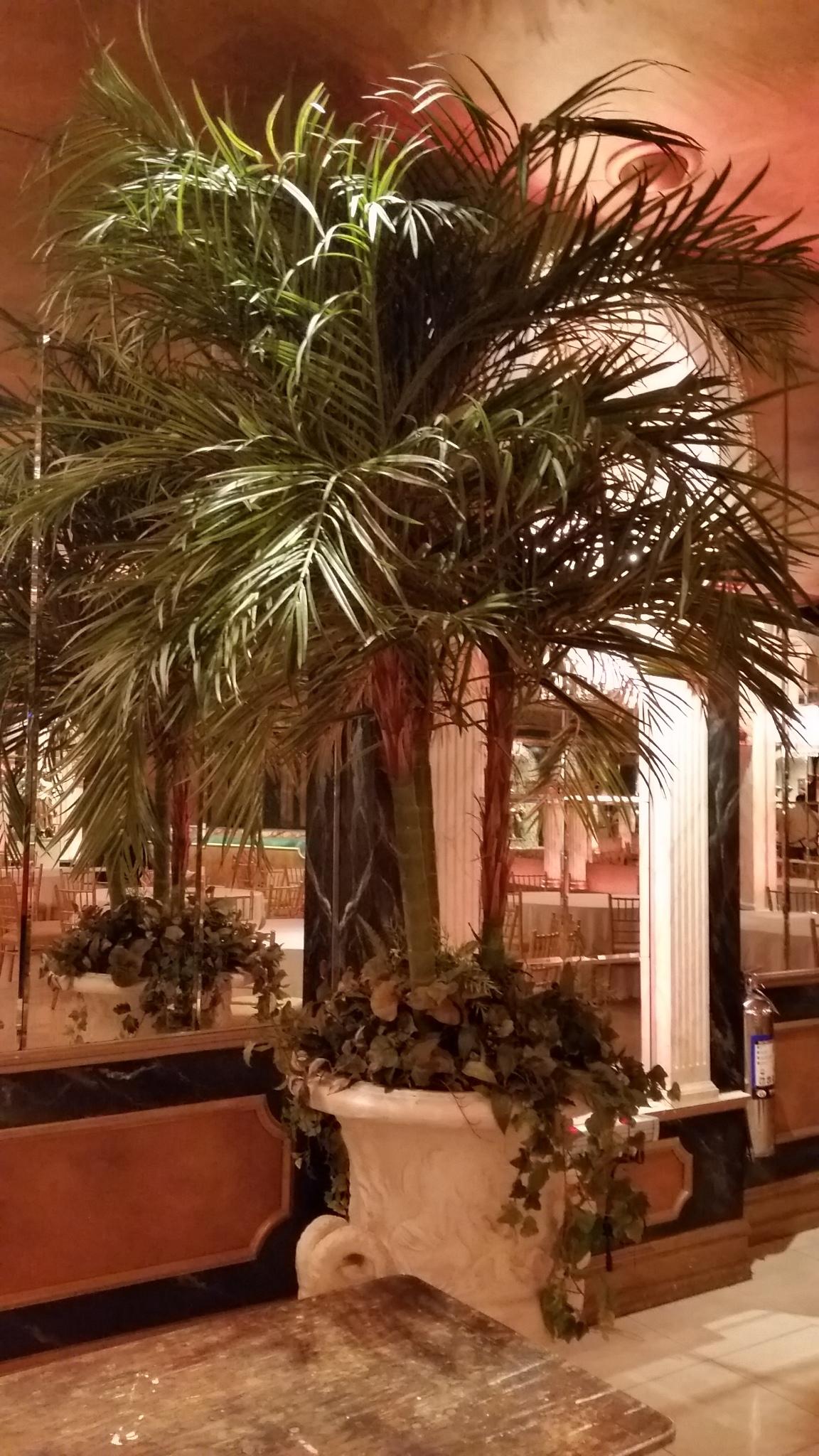 PL307 Double Kentia Palm