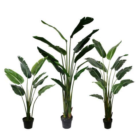 PL566 Traveller Palm