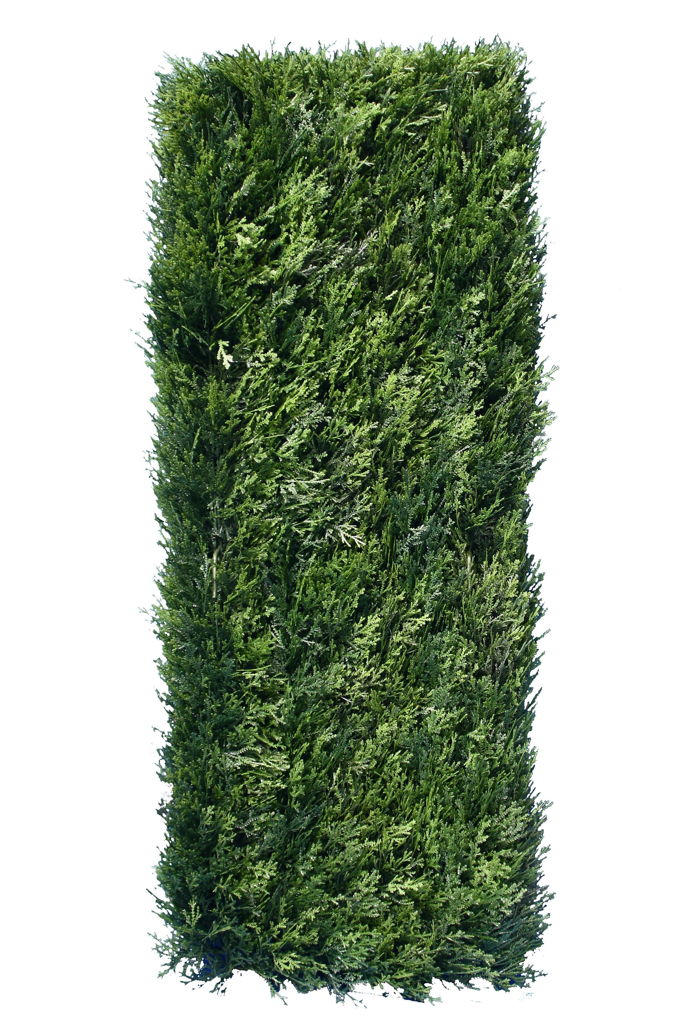Cedar Hedge