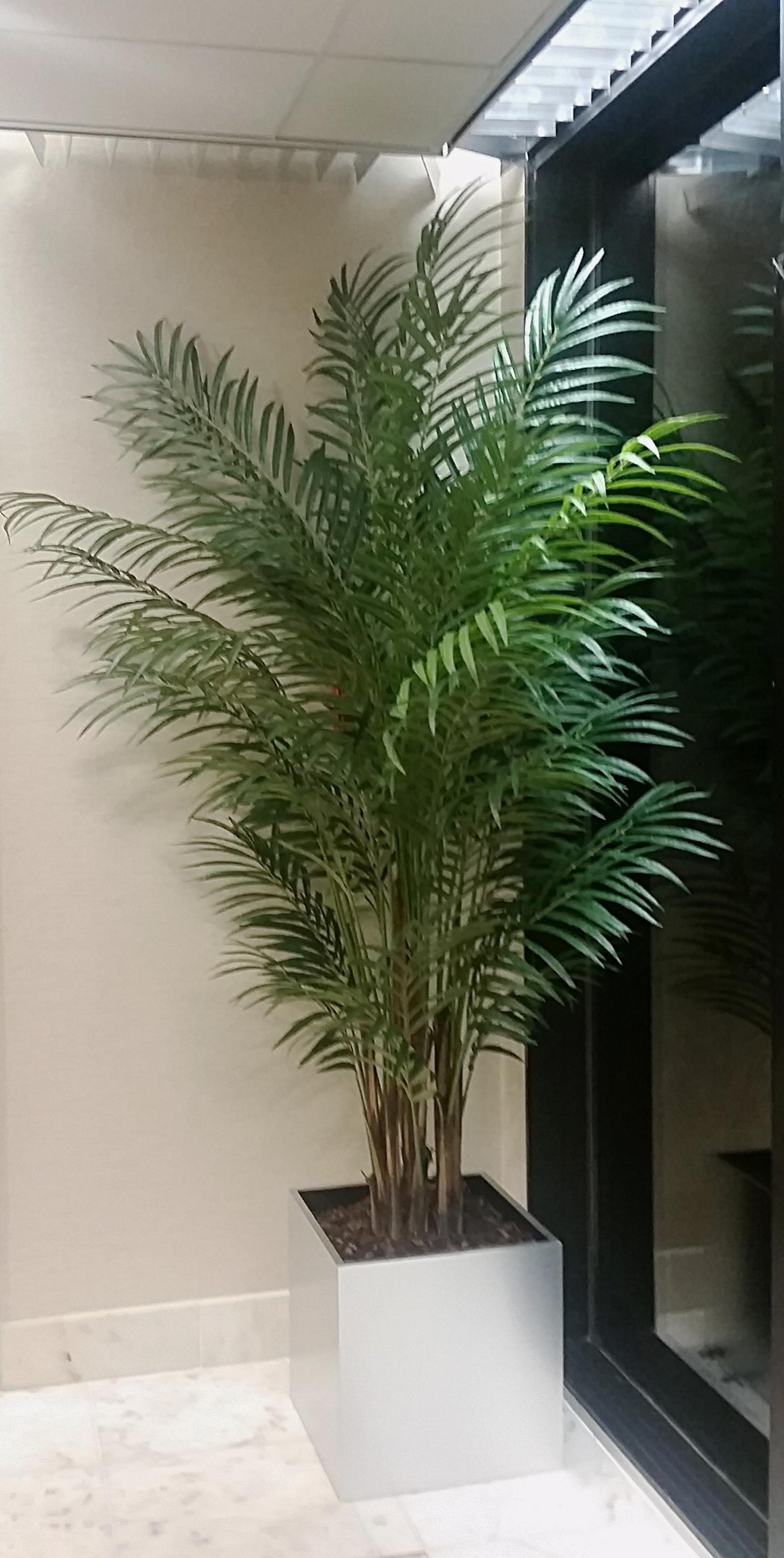 PL640 Areca Palm