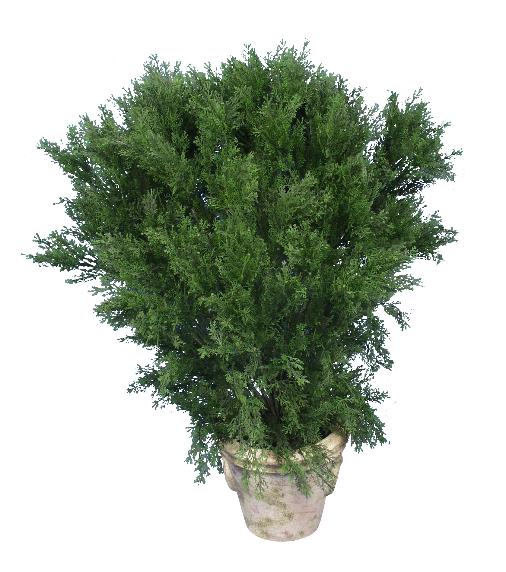 Spreading Cedar shrub