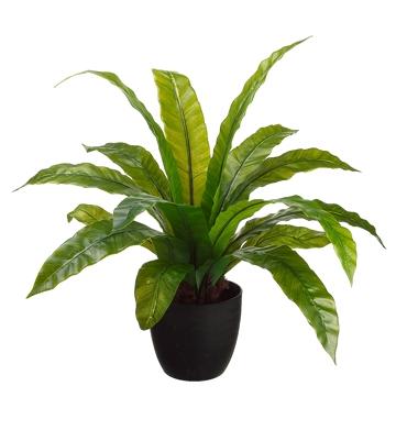 PL306 Birds Nest leaf plant