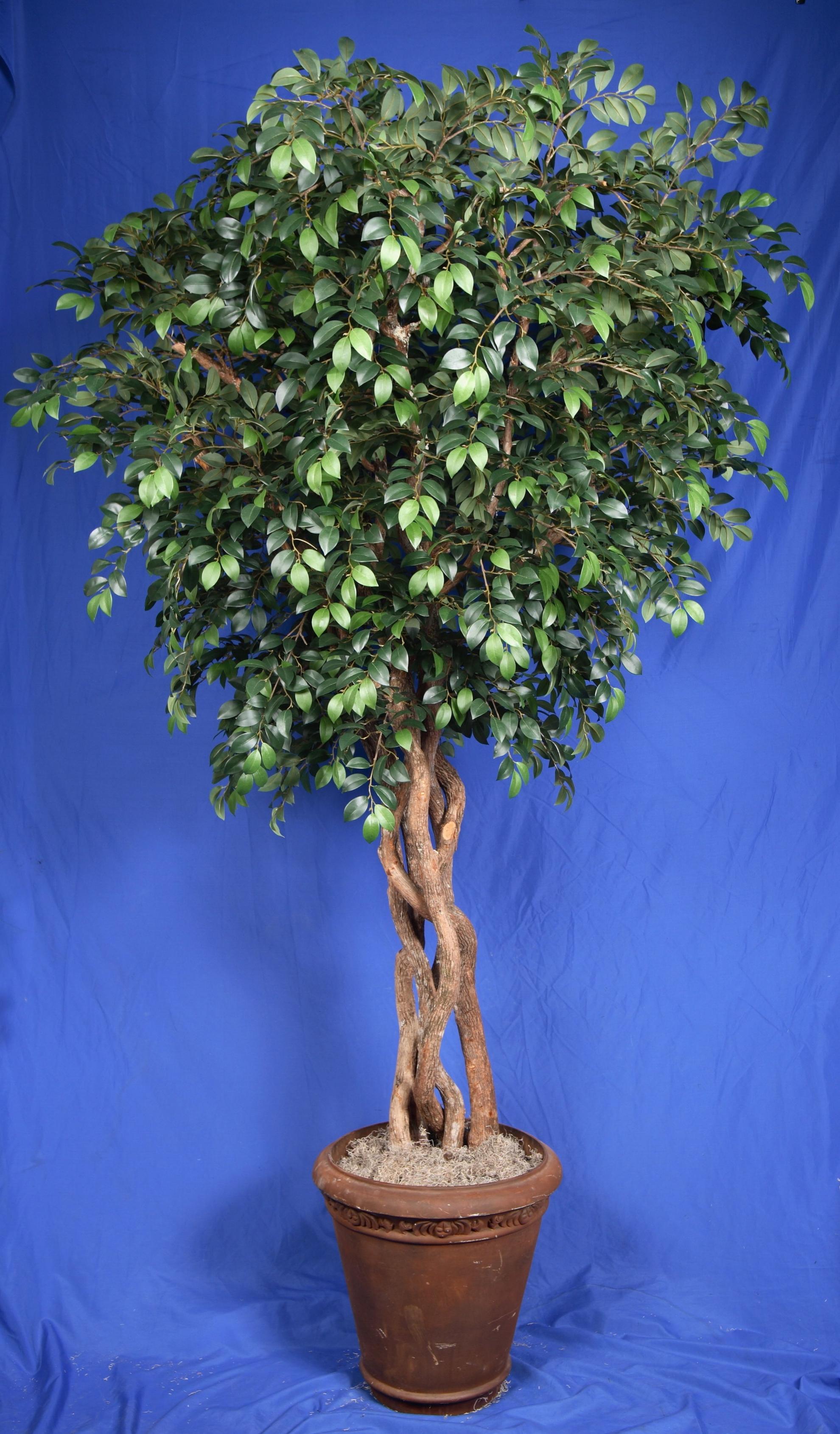 TPT 8921- Sacagi Ficus
