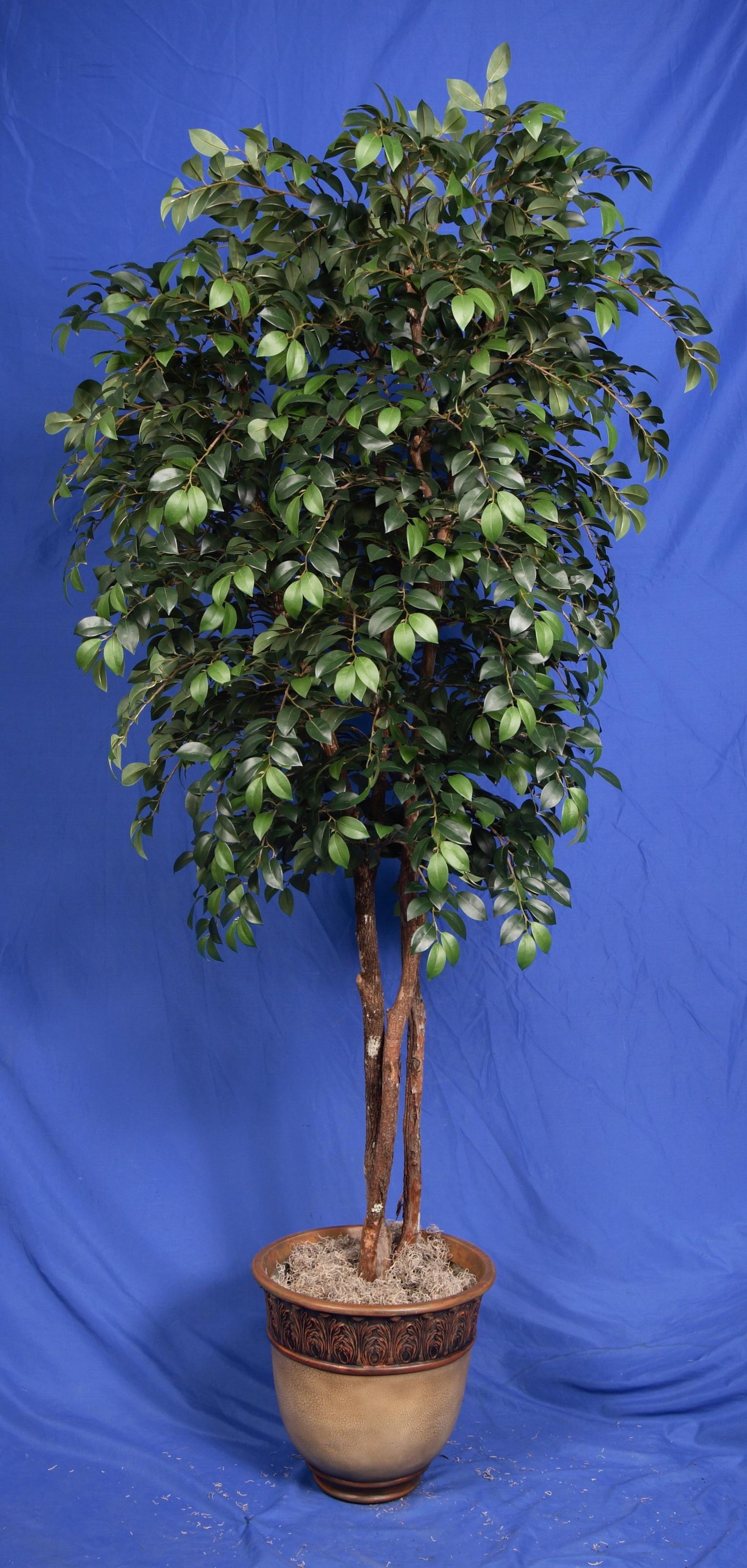 TPT 5946- Sacagi Ficus