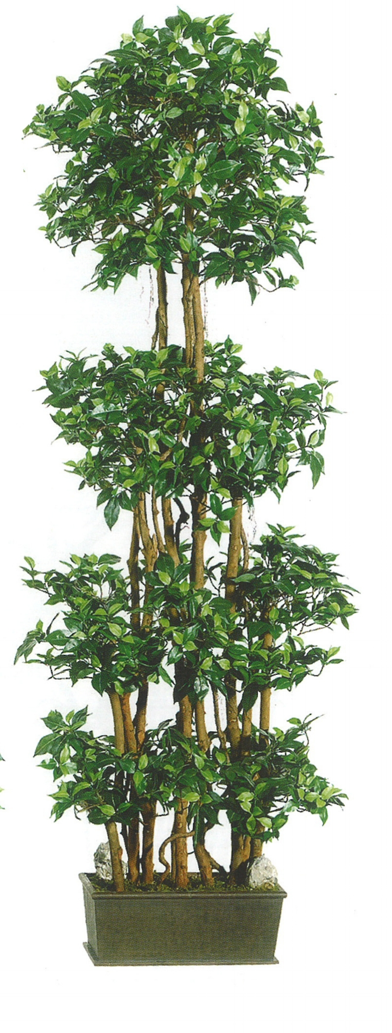 TSP 4524- Ficus panel tree