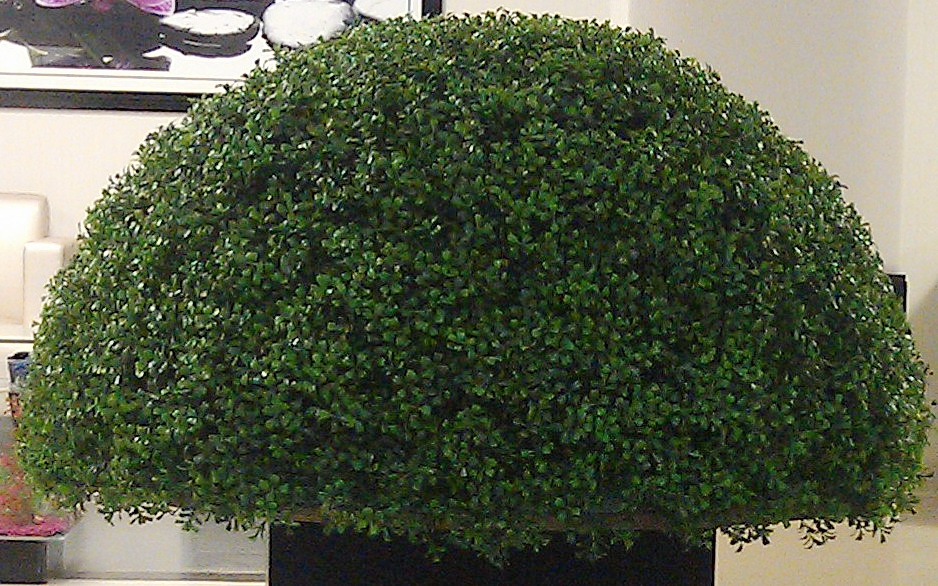 Boxwood ½ Ball topiary