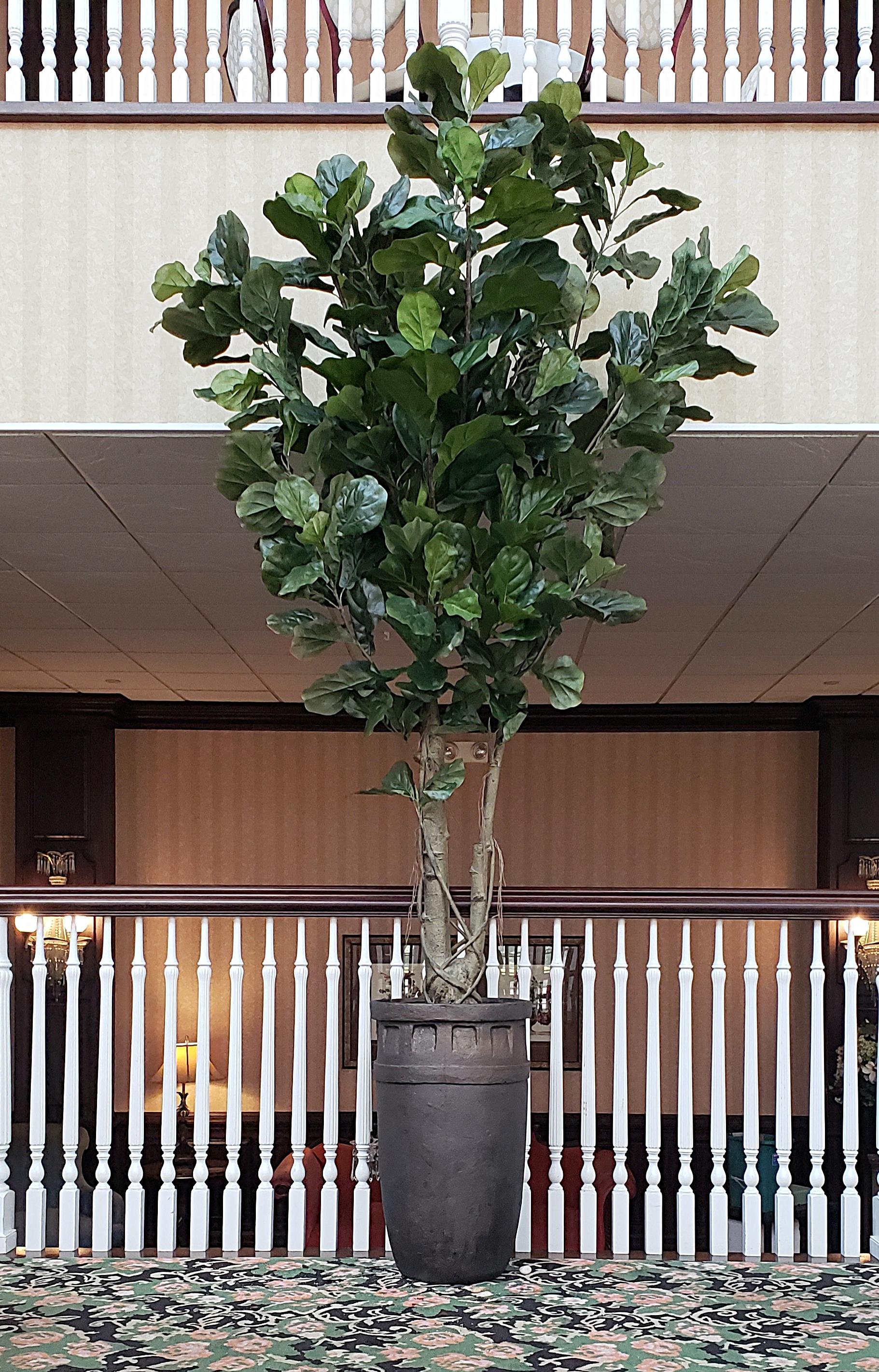 Fiddle Leaf in hotel lobby