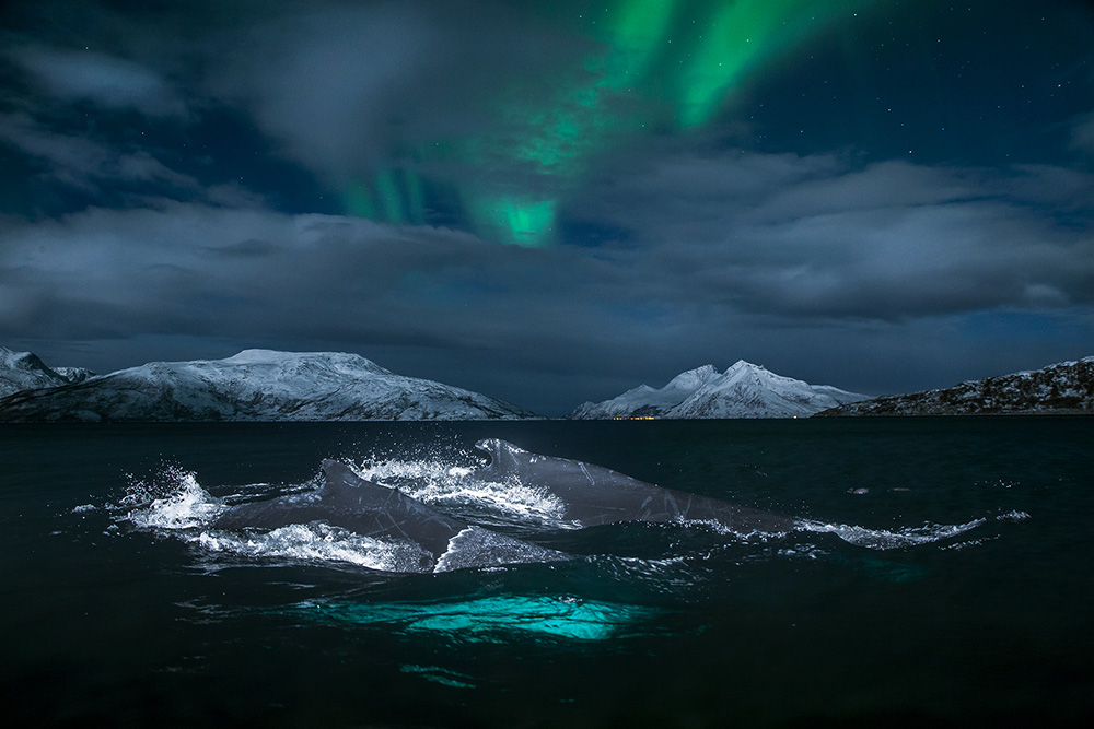 Humpback whales a beautiful Northern lights filled night