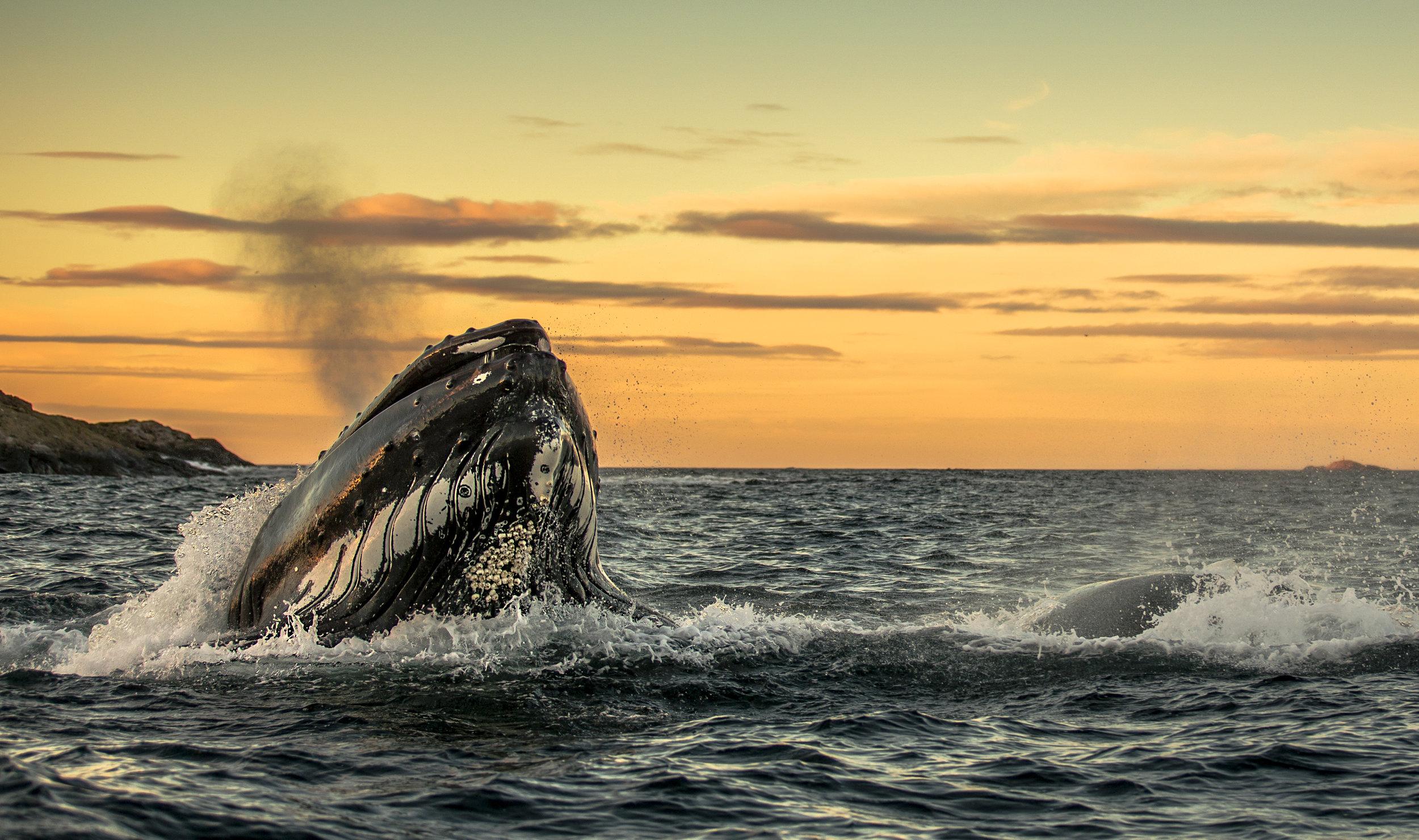 Whale feast (2012) - Audun Rikardsen.jpg