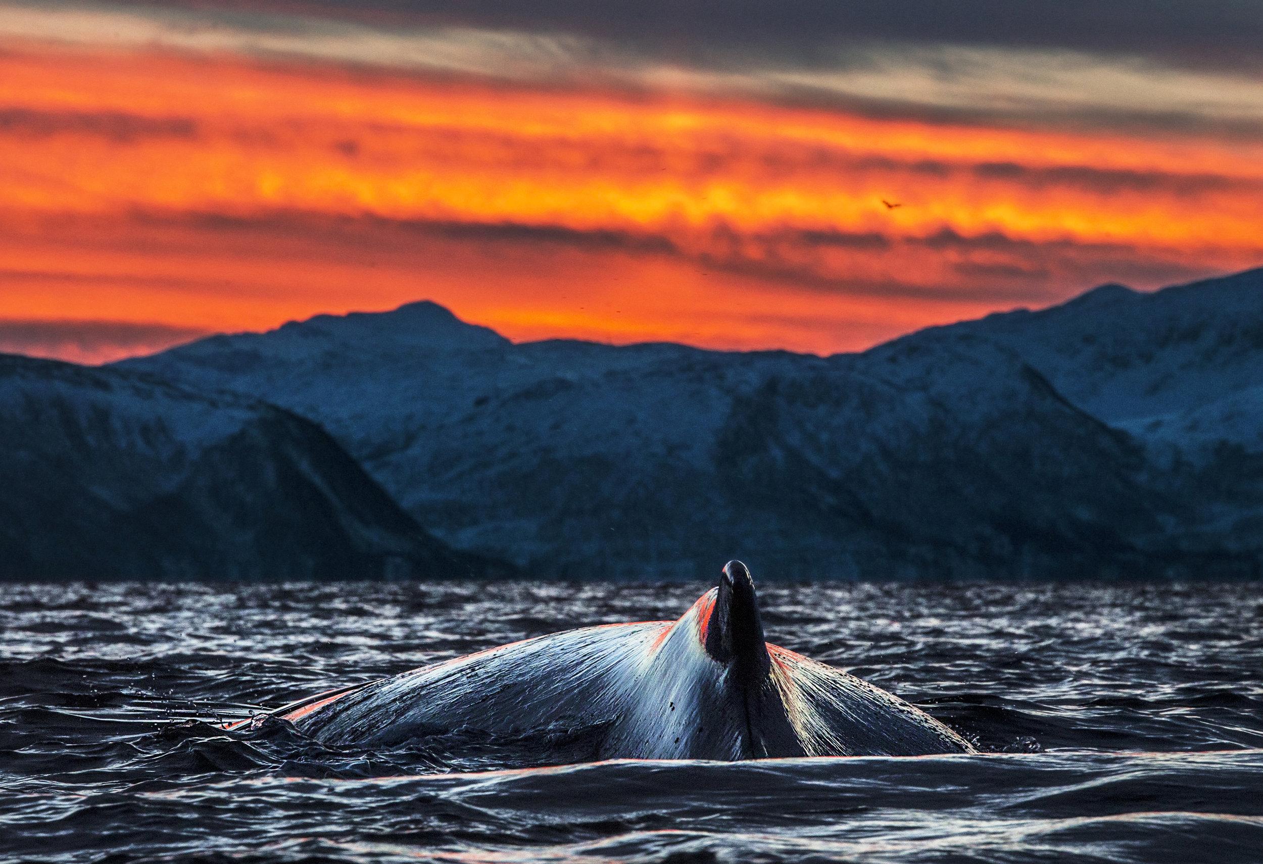 Knølhval i mørktidslys - Audun Rikardsen.jpg