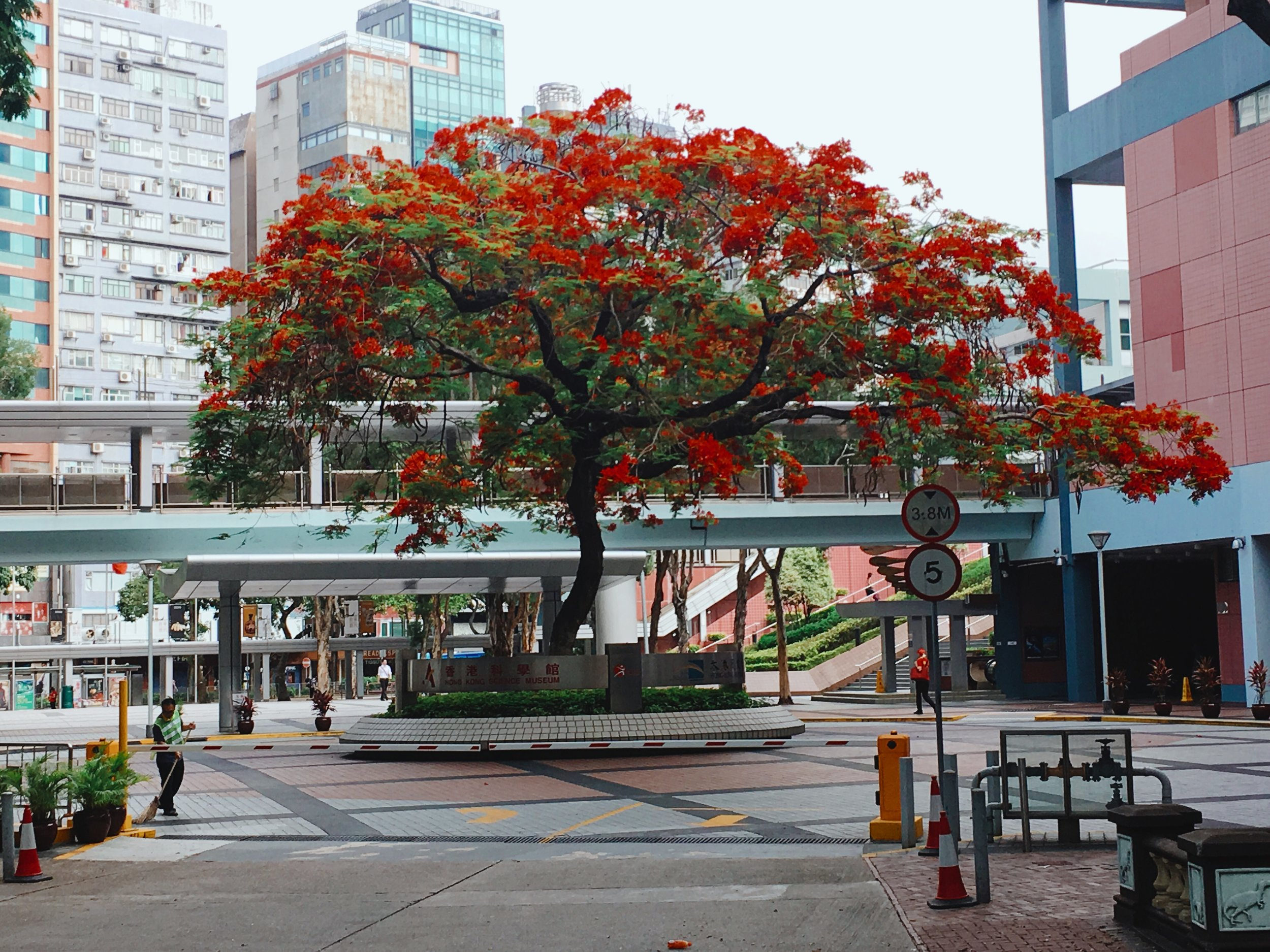 "HONG KONG HISTORY MUSEUM FLAME OF THE FOREST TREE  (All Rights Reserved, WilliamBanzai7, 2018)  Delonix regia, the flame tree, is a species of flowering plant in the bean family Fabaceae, subfamily Caesalpinioideae. It is noted for its fern-like leaves and flamboyant display of flowers. In many tropical parts of the world it is grown as an ornamental tree and in English it is given the name royal poinciana or flamboyant. It is also one of several trees known as ""flame tree"". [Source: Wikipedia]  Among the great early summer joys in Hong Kong is the sight of magnificent flame of the forest trees coming into flower along Hong Kong's roadsides. Throughout May and June, this spectacular, showy tree becomes immediately recognisable for the vivid red blossoms covering its spreading canopy.  Hong Kong Island's southern coast has numerous mature specimens in surviving old gardens, especially around Deep Water Bay, Repulse Bay and Stanley. For decades, the Repulse Bay Hotel was internationally famed for its flame of the forest trees, which featured prominently on postcards and the hotel's own advertising material. [Source: Jason Wordie SCMP]  Photographically, these magnificent brightly colored trees provide a wonderful visual enhancement whenever in image proximity.  To view more of my images of Hong Kong and Macau, please visit my  Flickr Stream  or visit me on Instagram:  @williambanzai7 .   Hope to see you soon on the Streets of Hong Kong or Macau!   WB7  End of Dispatch"