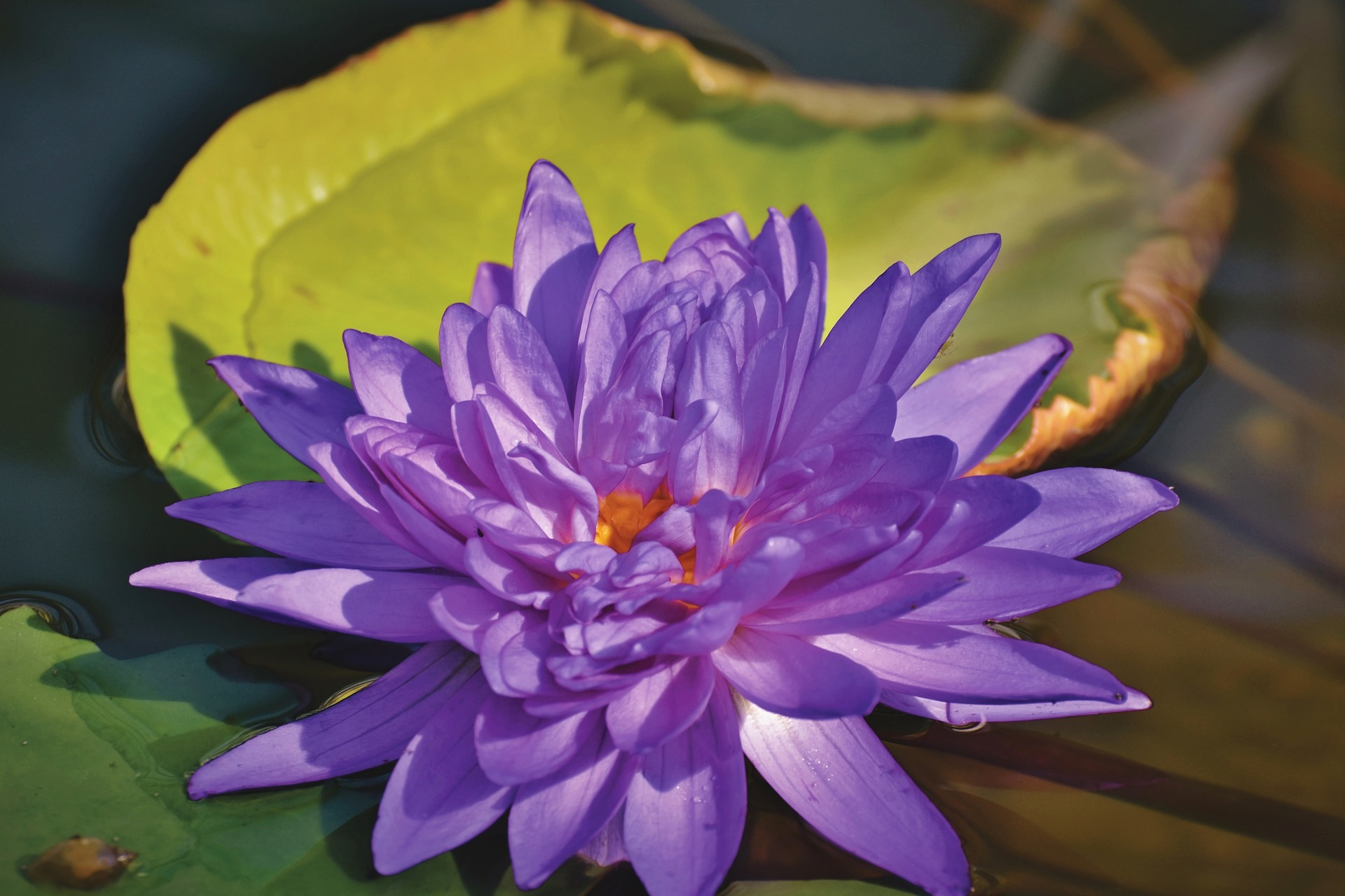 water-lily-4329926_1920.jpg