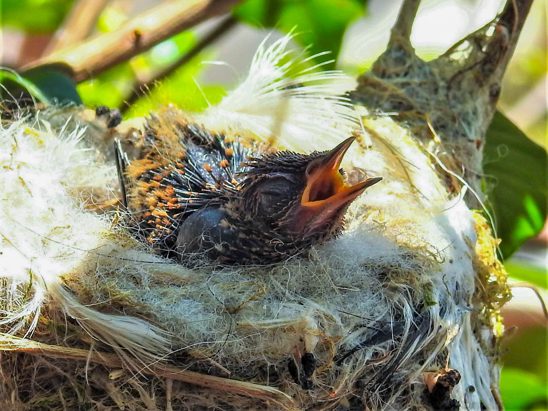 JIMENITA 18 BABY HUMMINGBIRD.jpg