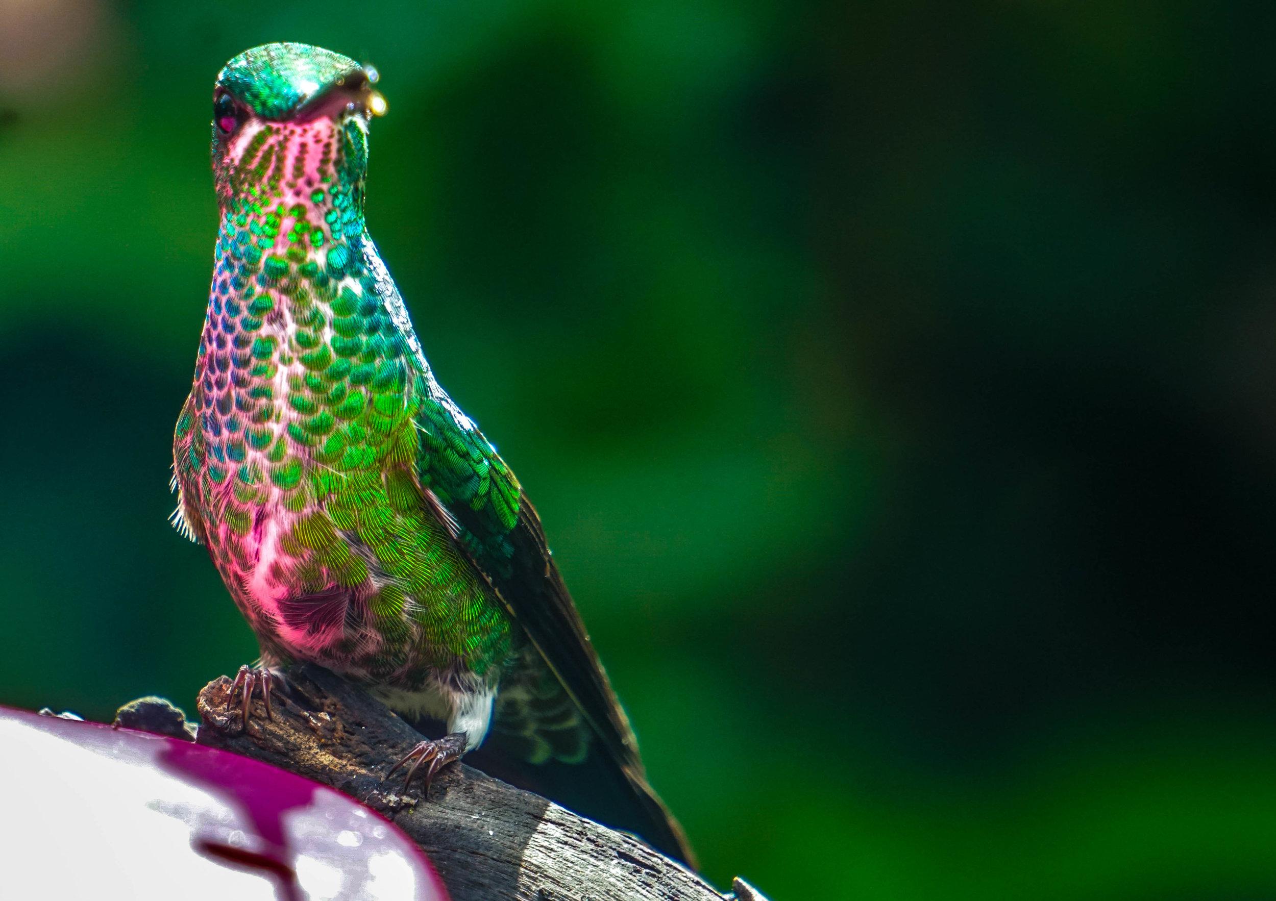 HUMINGBIRD 6 TANDAYAPA.jpg