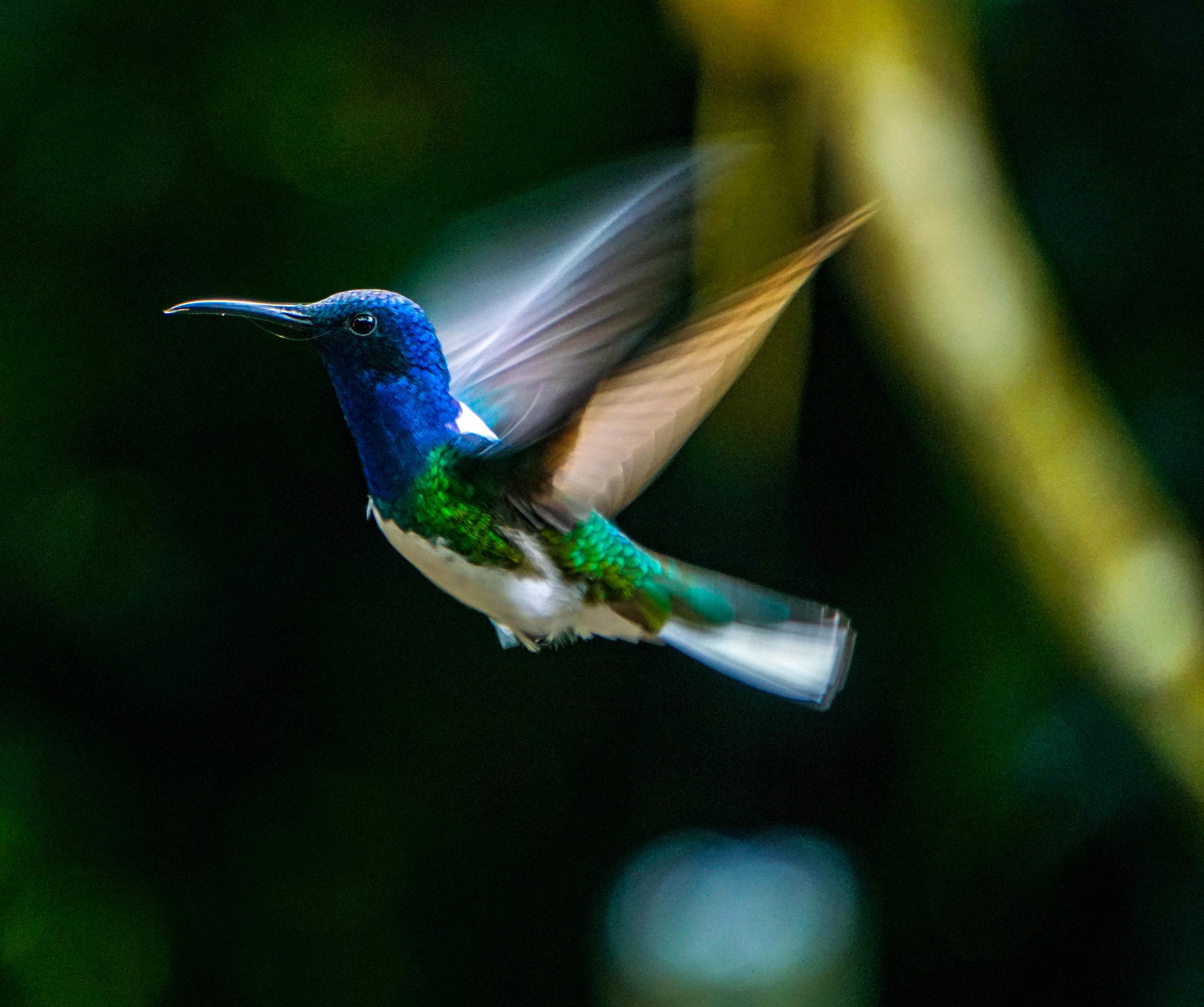 HUMINGBIRD 3 TANDAYAPA.jpg