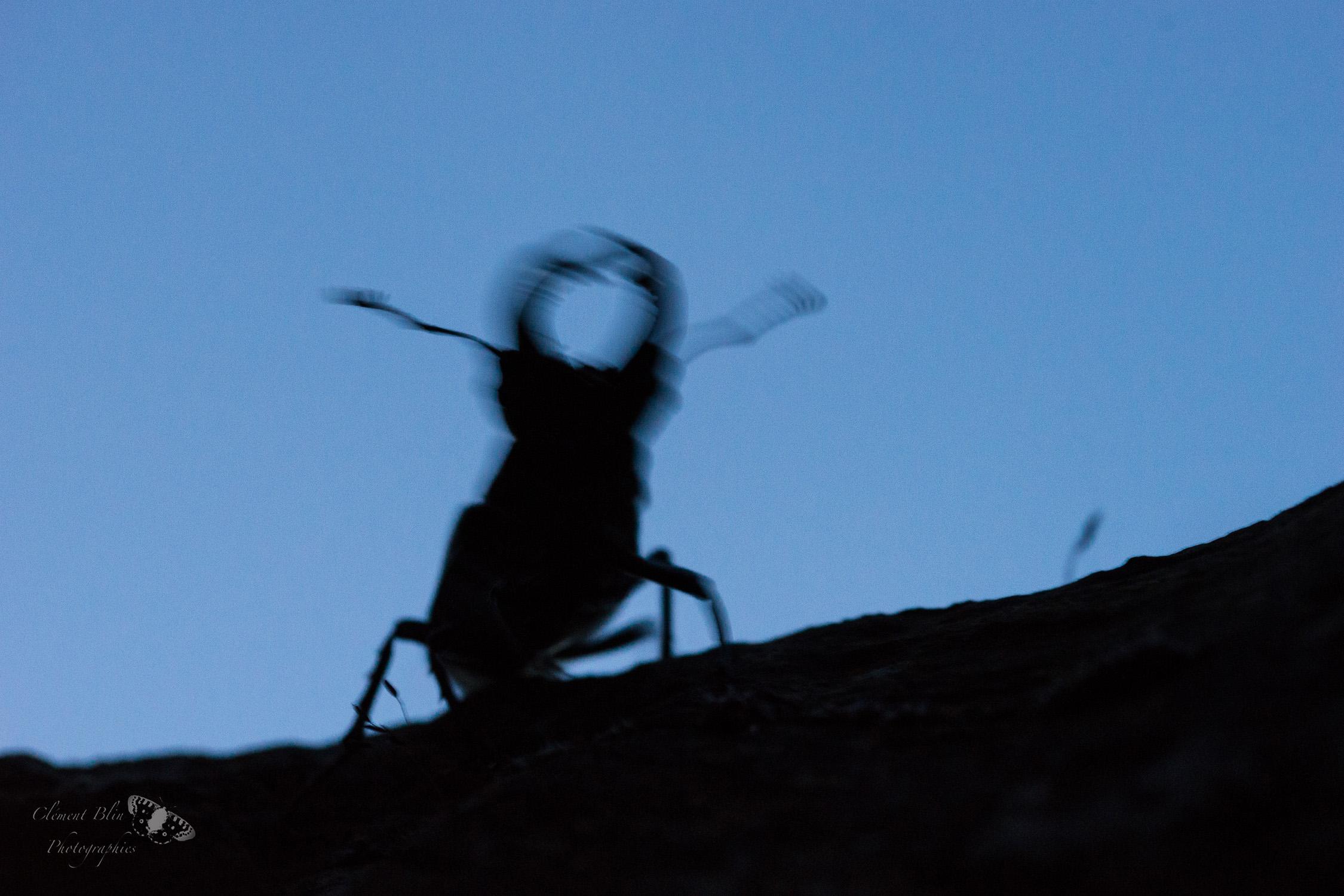 Lucanus cervus à la recherche d'une femelle.