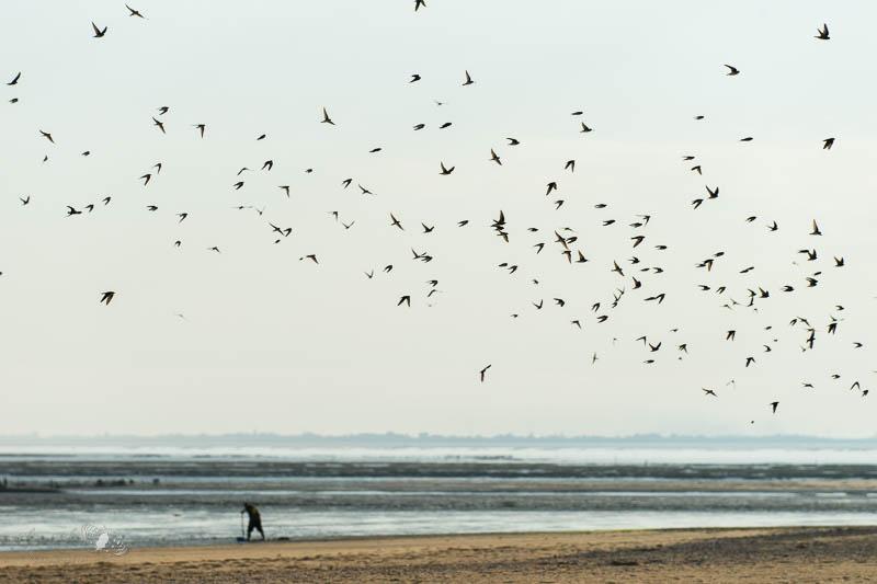 Migration des hirondelles de rivage à la pointe de l'AIguillon, Vendée.