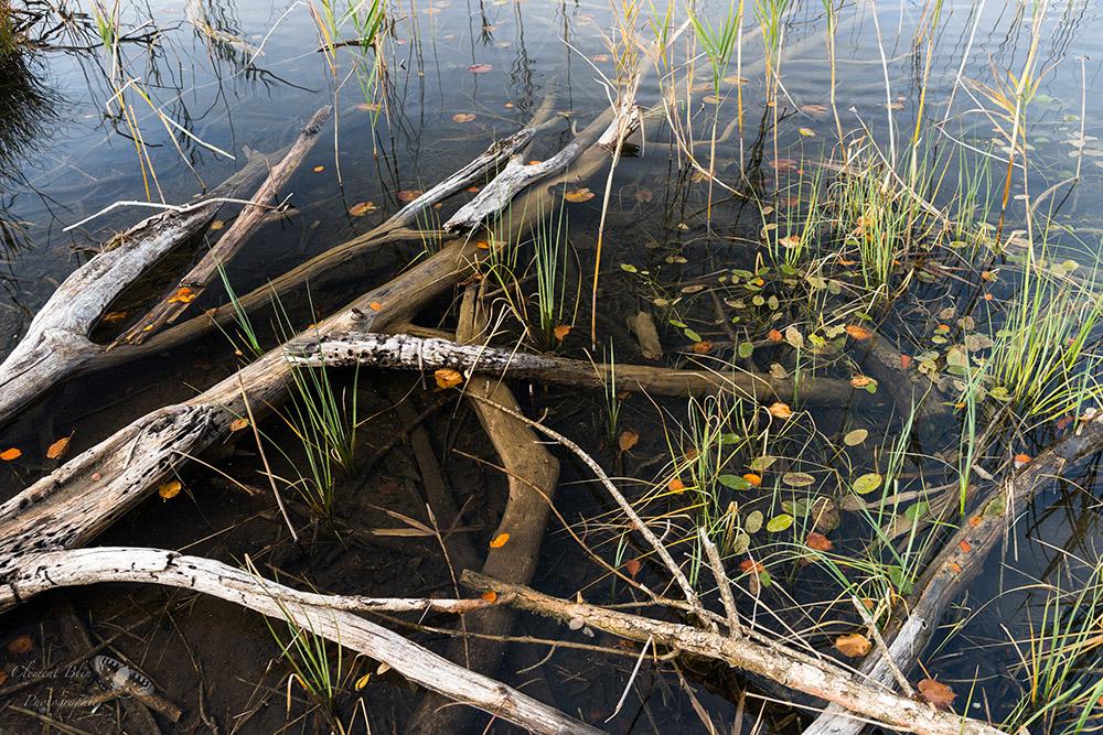 Branches et feuilles au lac d'Ilay, Jura.