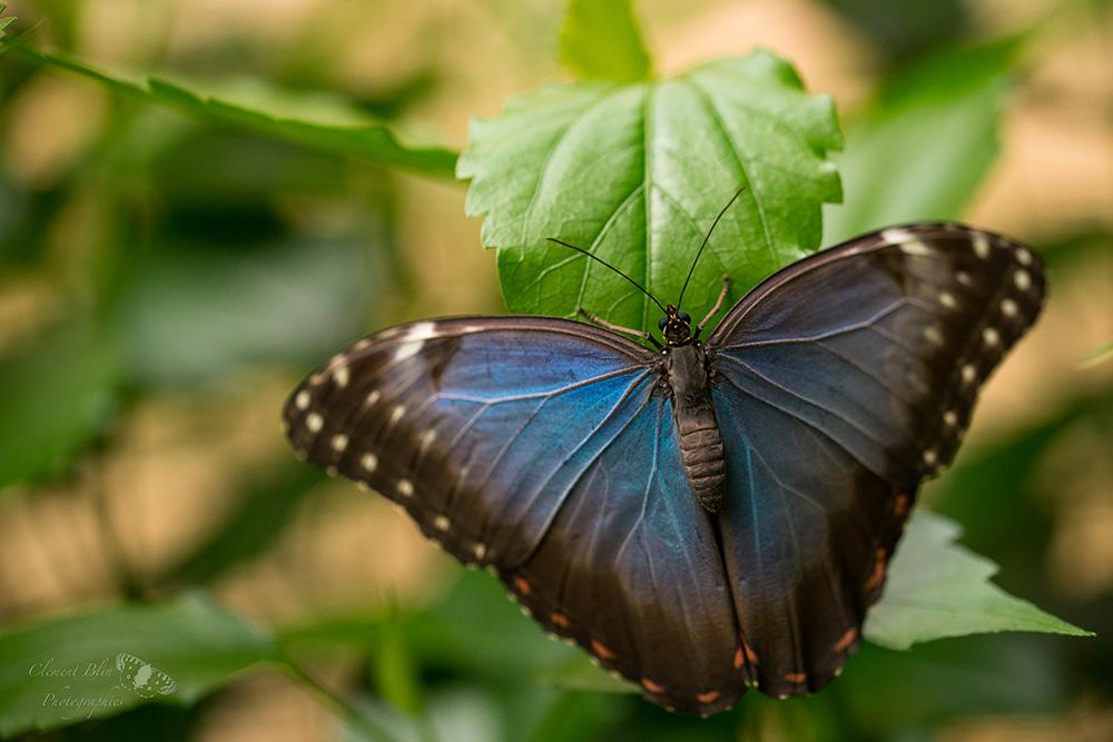 Papillon chouette du genre Caligo. Sigma 105mm macro, f3,2.