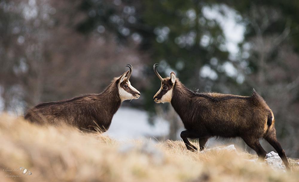 Deux chamois à la Dôle, dans le Jura Suisse.