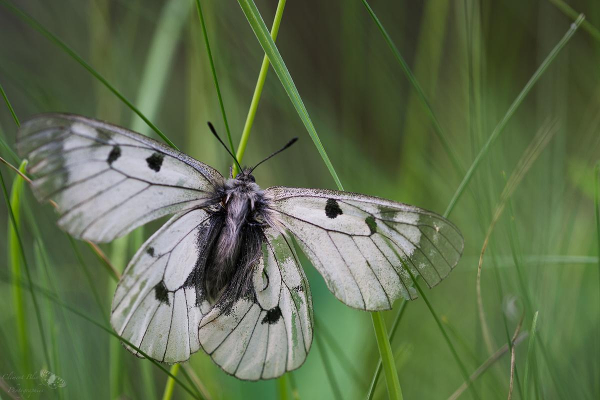 Semi-apollon, ailes ouvertes, posé dans l'herbe.