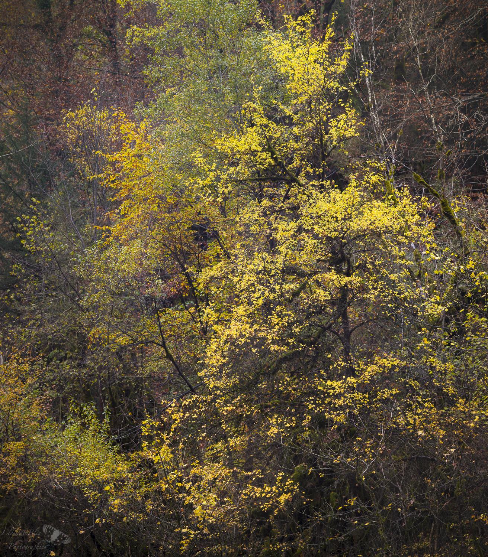 L'érable des cascades du Flumen. Sony Alpha, 300mm, F8, panoramique multi-bandes.