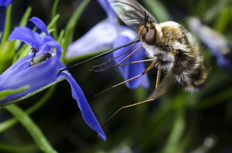 Bee Fly - Bombyliidae