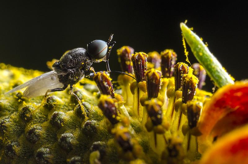 Dipteran - Nemotelus kansensis, Male