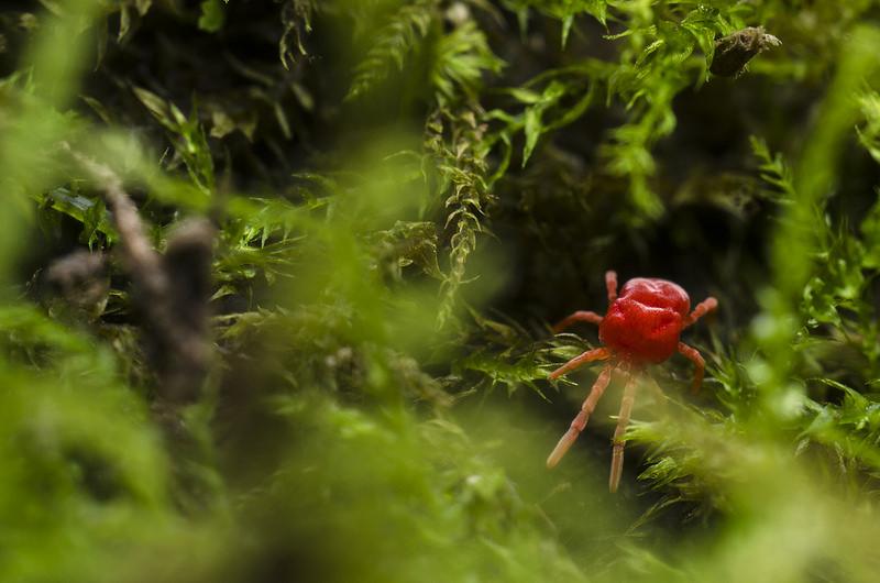 Red Velvet Mite - Trombidiidae