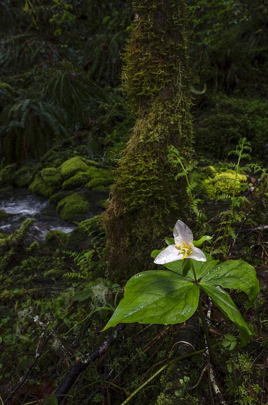 Trillium ovatum and Habitat
