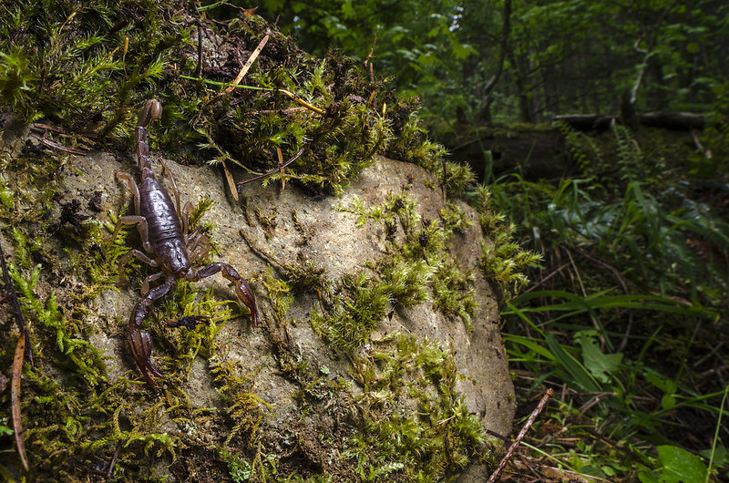 Forest Scorpion (Uroctonus mordax) and Habitat