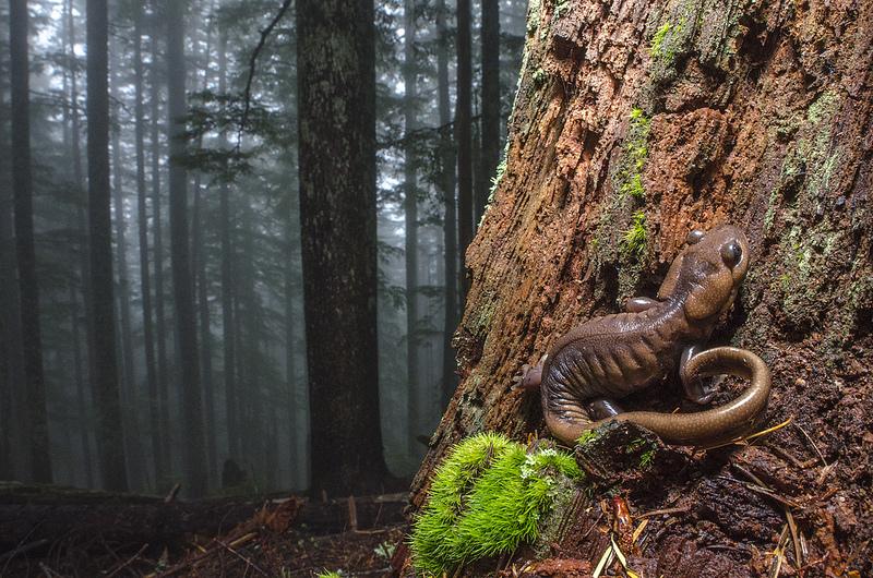 Salamander (Ambystoma gracile) and Habitat
