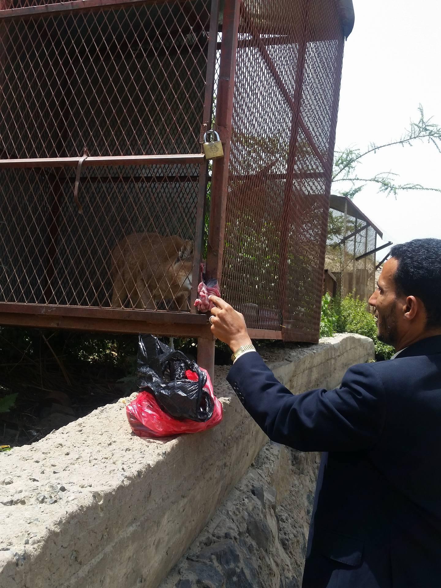 Ibb Zoo Omar feeding wildcat 23 July 2017 Kim's Emergency  Rescue Yemen.jpg
