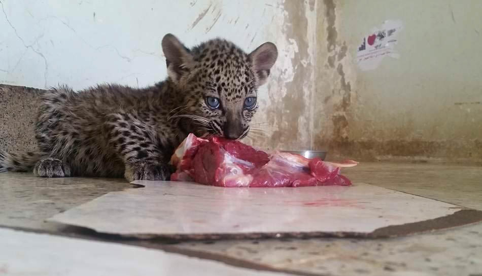 18009871_1835834130073240_1973984526_n17 april 2017 taiz zoo kim michellel brodericks rescue.jpg