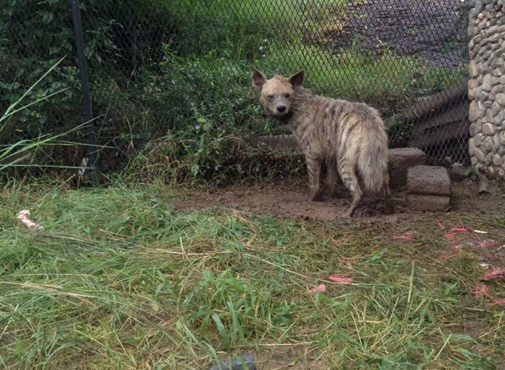 2nd hyena in new enclosure at taiz Zoo Yemen 30th July 2016.jpg