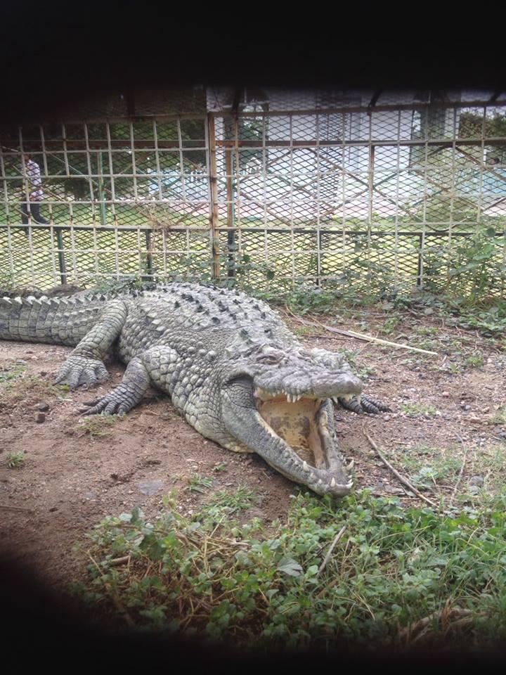 Mr Croc Taiz Zoo.jpg