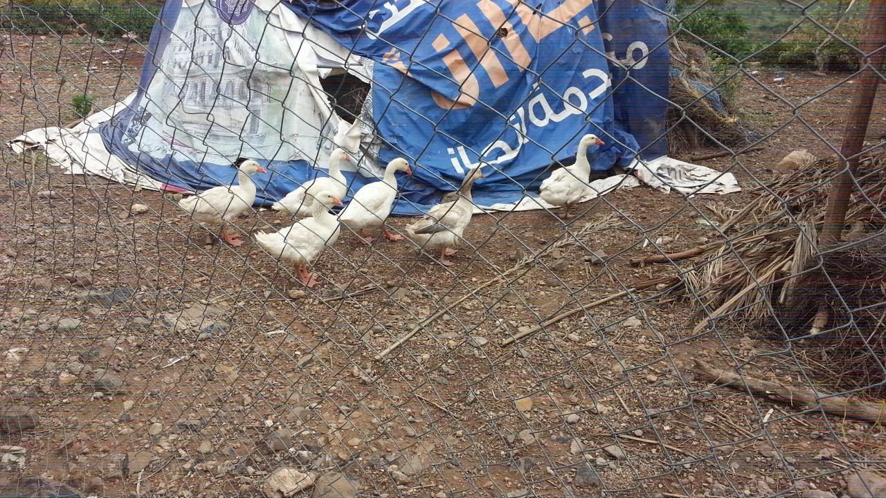 Ibb Zoo Yemen 12 June 2017 Geese .jpg