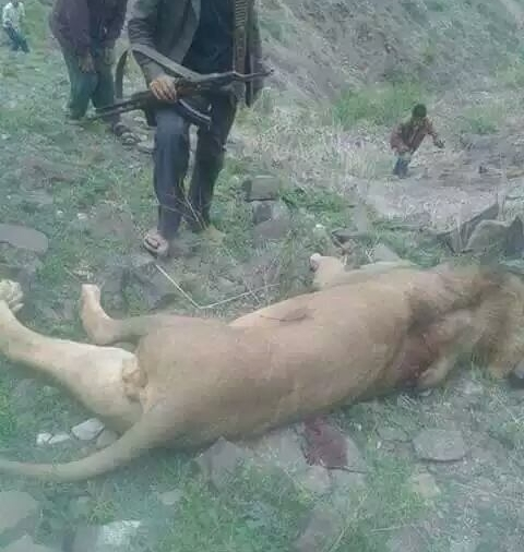 Ibb Lion killed.jpg