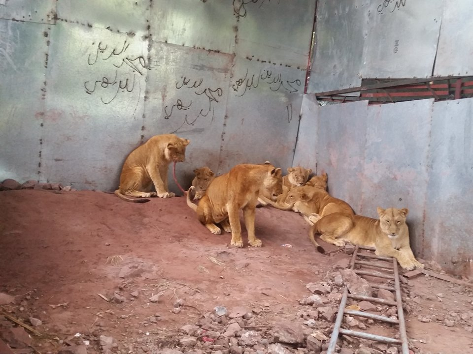 Ibb Zoo Lions now safe 15 September 2017 OWAP AR Ibb Zoo Emergency Rescue Mission .jpg