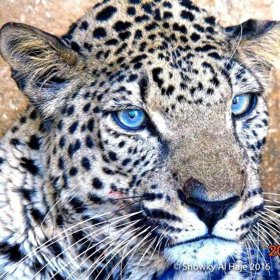 TWPA'A , Taiz Zoo's male Arabian Leopard Panthera pardus nimr: OUR MASCOT