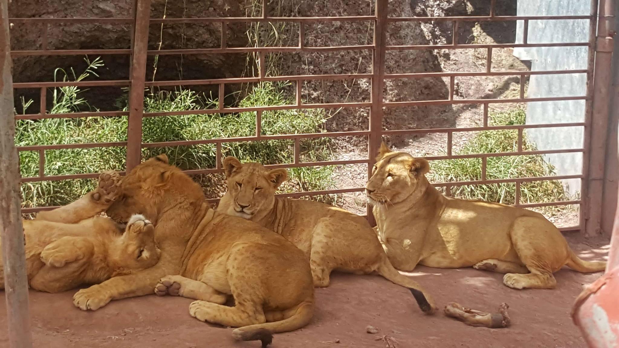 Ibb zoo lions sunny side safe 13 Oct 2017 Salmans pics OWAP-AR.jpg