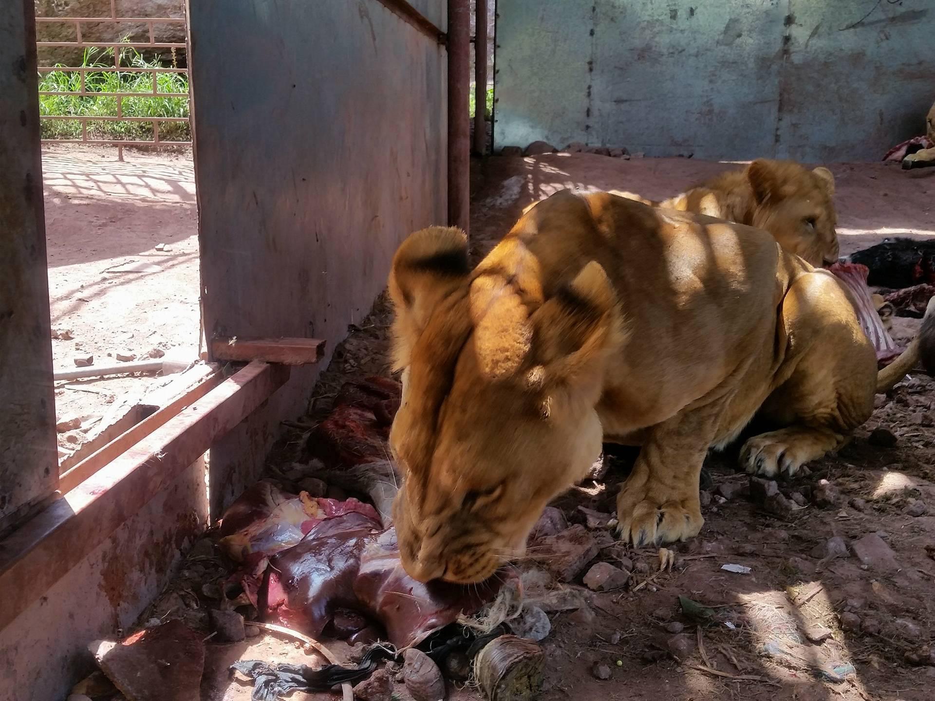 Ibb Zoo Emergency Rescue Mission Yemen OWAP AR 30 sept.2017.jpg