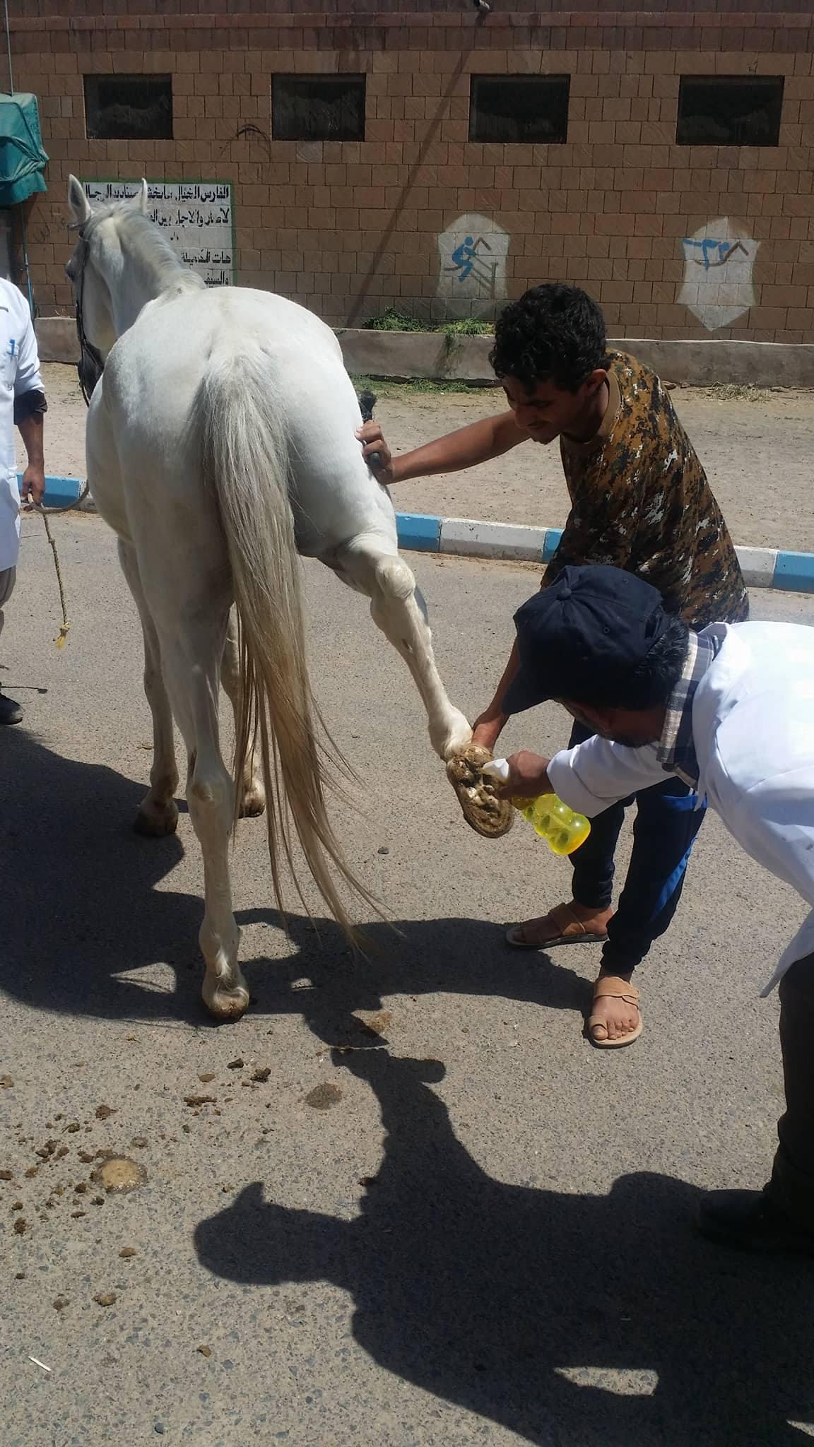 arabian 16 OCT 2017 OWAP AR disinfect hoof Police Academy Yemen Rescue Mission.jpg