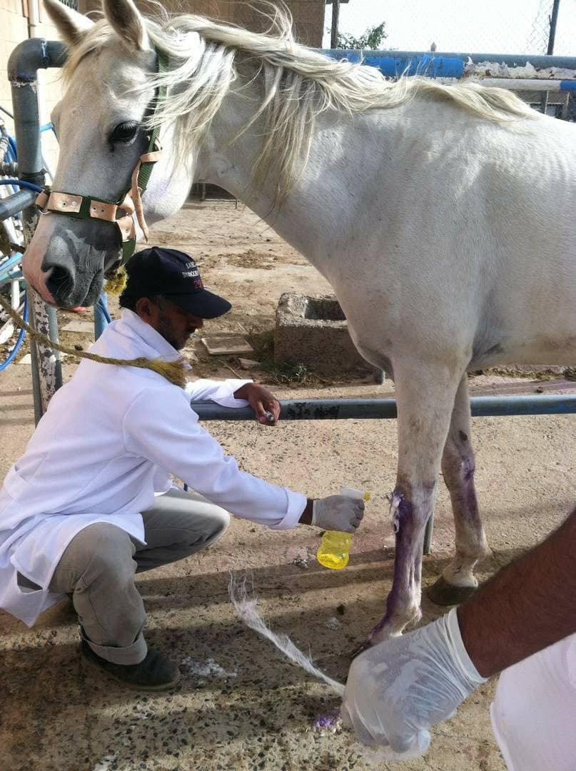Arabian OWAP AR The Police Academy 2017 AL JAMEELAH treated today  11 Oct 2017 Dr Al Gurashi.jpg