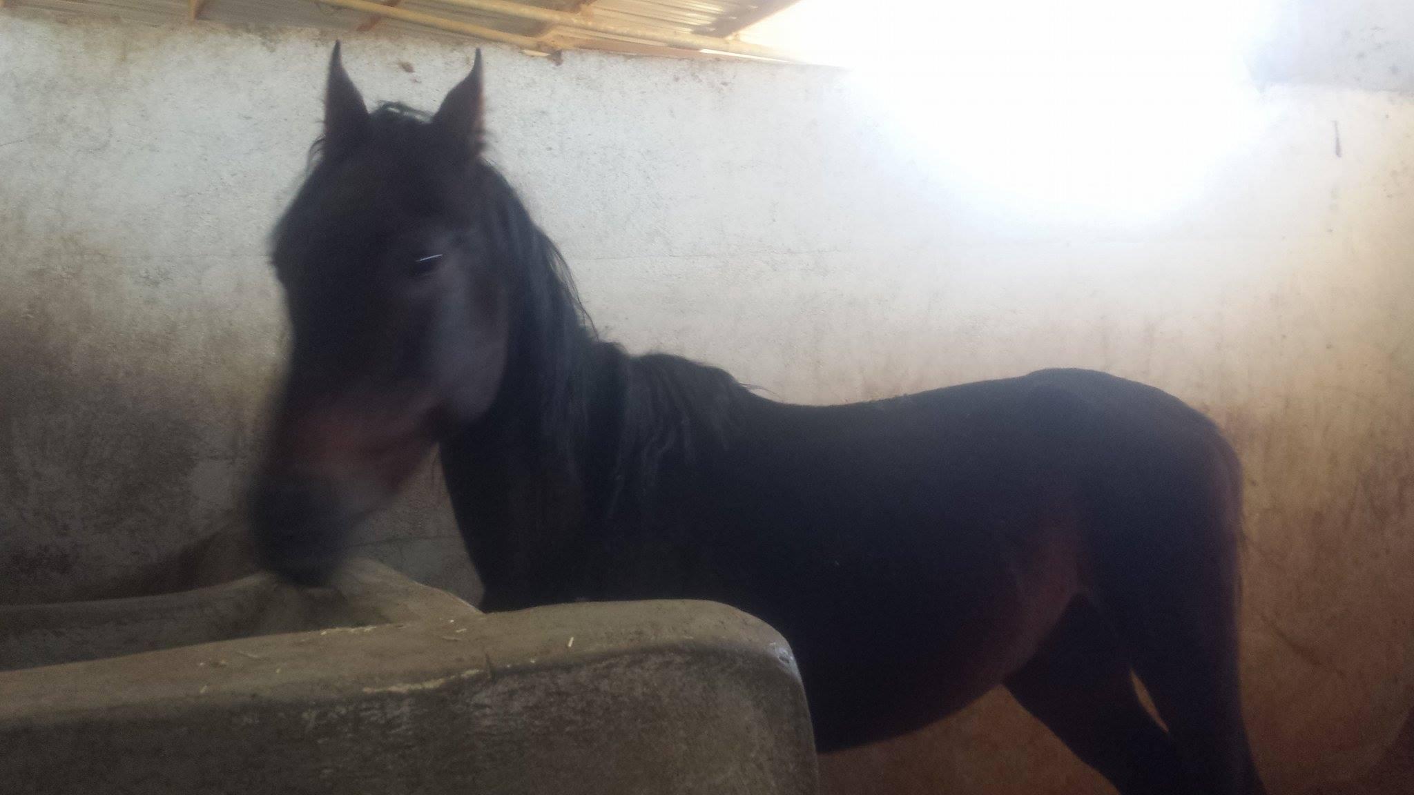 arabian dhamar 29 nov 2017 horses .jpg